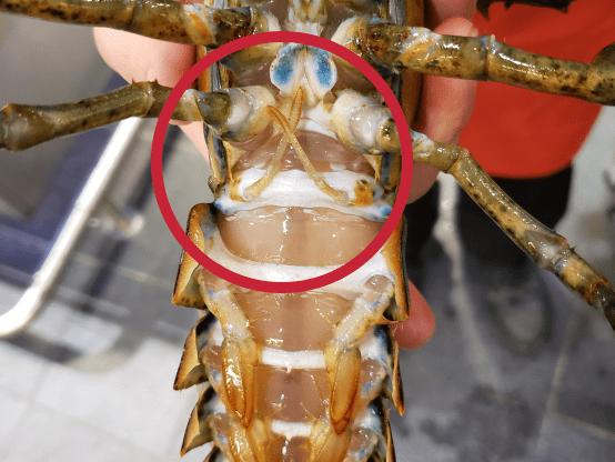 homard-femelle